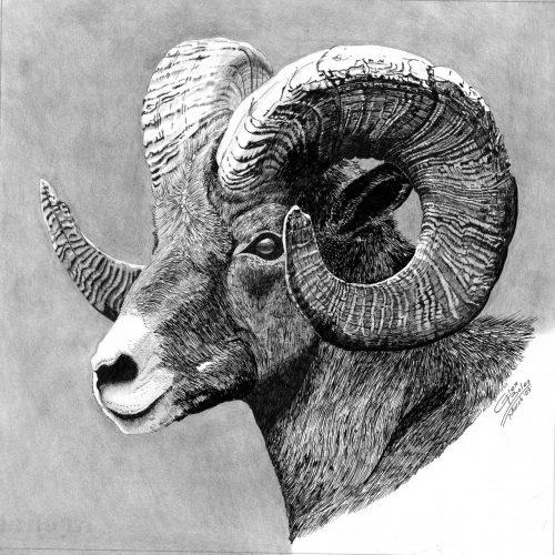 Drawing - Bighorn Ram
