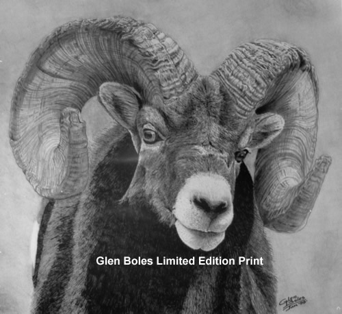 Drawing - Bighorn Ram - From View