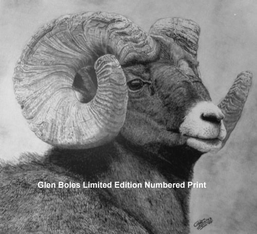 Drawing - Bighorn Ram - Side View