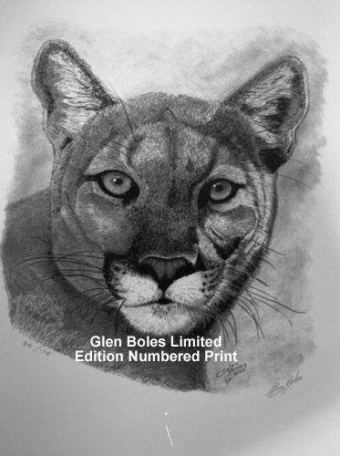 Drawing - Cougar